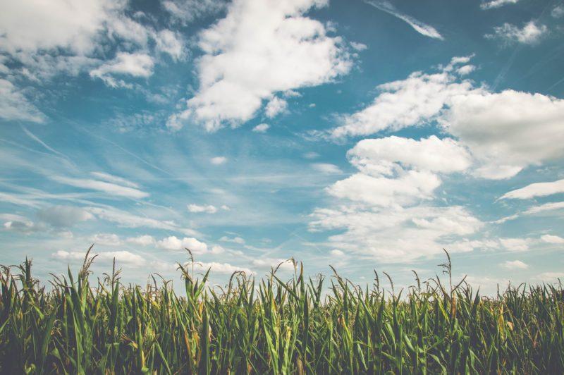 トウモロコシ畑(天気・晴れ)